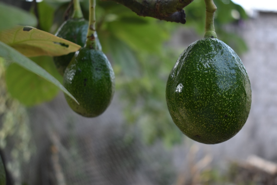 Indigenous use of avocados